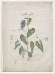 Silene Vulgaris Graphic | Redouté, Pierre Joseph (1759-1840). Illustrator